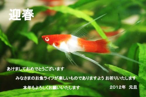 紅白ソードテール 2012年賀状 NEW.jpg